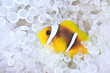 Anemonefish in bleached host sea anemone
