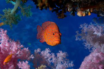 Coral Hind