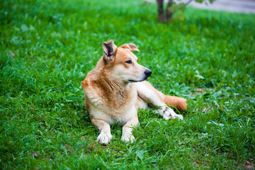A stray dog lying on the grass