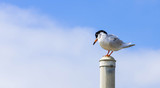 perched bird with ruffled feathers on a pole