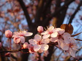 Blossoming plum twig