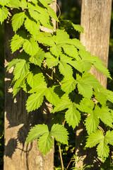 Wild vine, creeper on the fence.