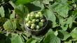 green leaf background hand put wicker mettalic dish hazel nuts