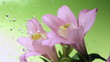 Blossom pink flower under raindrops on green background