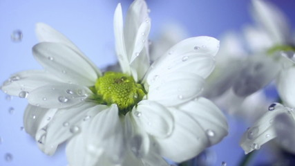 drops of dew on a daisy. Blue background
