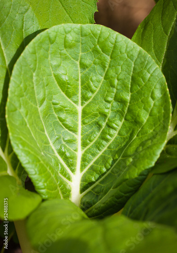 Close-up of a bok-choy leaf