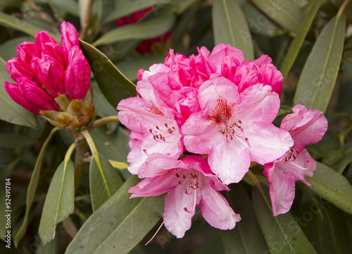 Close up image of pink rhododendron flower