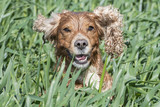 Isolated english cocker spaniel while jumping on green grass