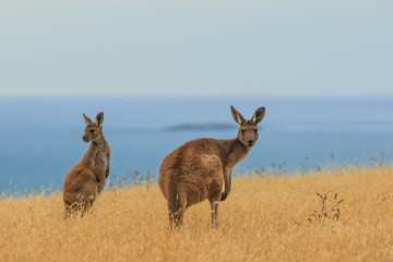 A curious and observant Kangaroo on the South coast of Australia