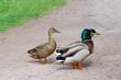 Ducks mating