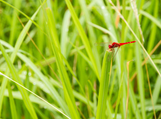 The dragonfly.