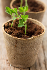 Plants growing in biodegradable plant pots