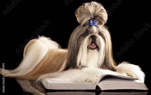 Shih Tzu  and book