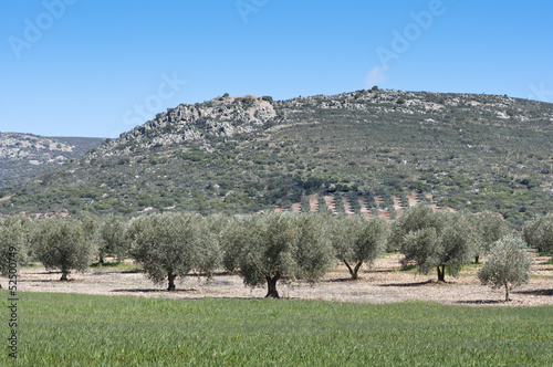 Olive grove at the foot of the mountain, Spain