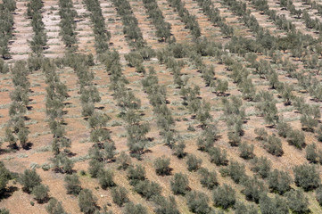 Aerial view of olive groves, Spain