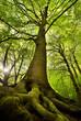 Leinwanddruck Bild - Old Beech Tree