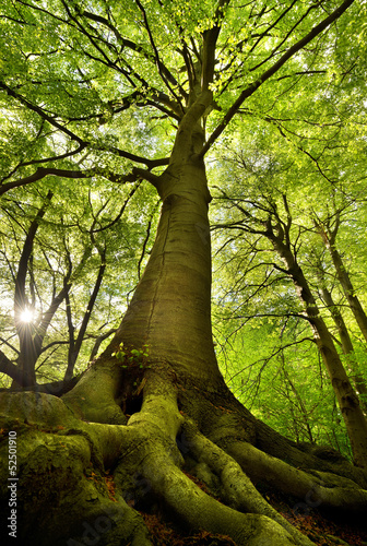 Old Beech Tree - 52501910