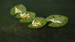 leaves of water lilies on water
