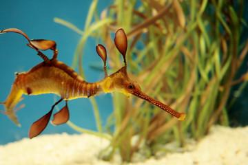 Seadragon fish swimming