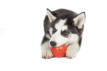 Siberian Husky dog lying with ball on a white background