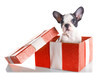 Adorable French bulldog puppy in present box isolated over white