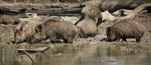 Sounder / Group of boars at watering hole