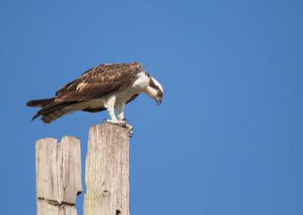 Intense Osprey