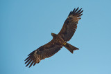 Falcon with outstretched wings in front of blue sky