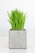 Wheatgrass growing in concrete pot