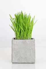 Wheatgrass growing in concrete pot
