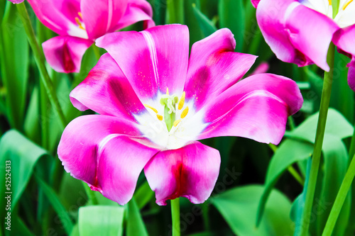 Beautiful spring flowers. Tulips