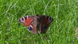 Zoom in onto the dead butterfly