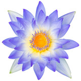 Water lily or lotus flower