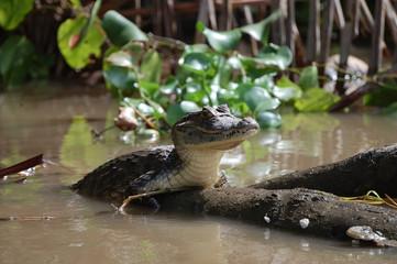 Caimán Costa Rica