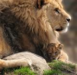 Lions - 52527164