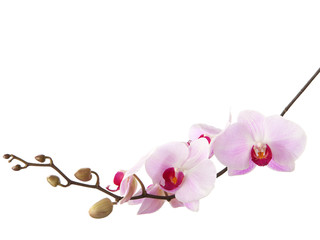 light pink orchid isolated on white