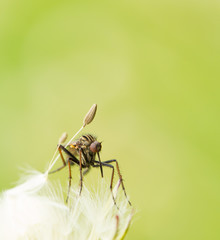 mosquito on a dandelion