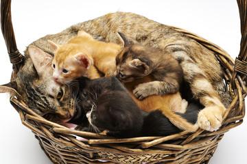 Siam Family cats
