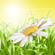 Green grass with daisy - summer background.