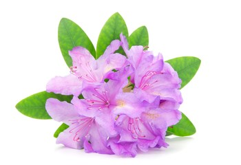A rhododendron blossom and leaves on a white background