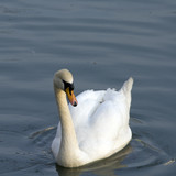 One white swan swimming in the lake water
