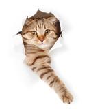 Fototapety cat in white wallpaper hole