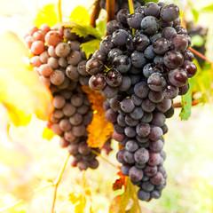 uva con rugiada