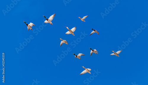 Flock of Mallard ducks Anas platyrhynchos flying