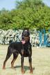 Purebred  dog doberman