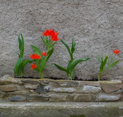 Beautiful red tulips against concrete wall