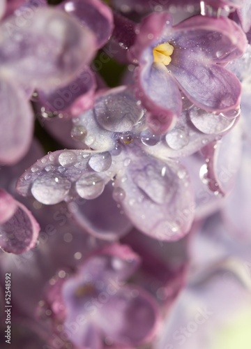 beautiful lilac flowers. macro © schankz
