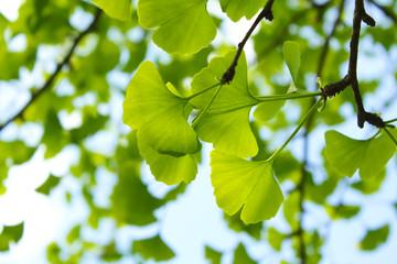 Ginkgo Blätter