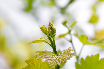 young shoots on grapes in nature