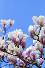 blooming magnoliaceae isolated on blue sky